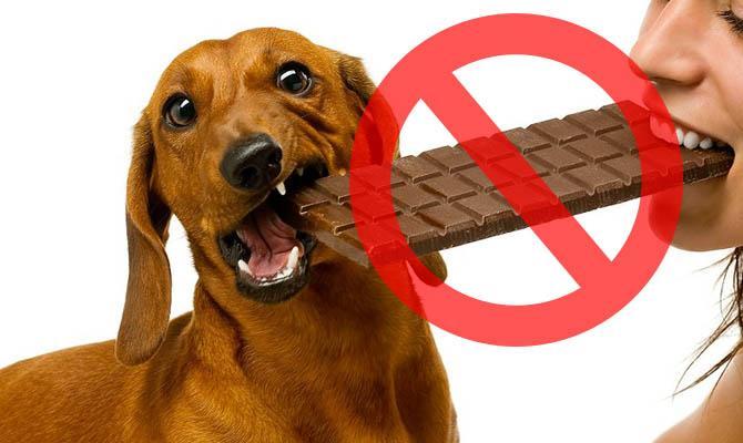 Шоколад опасен для животных